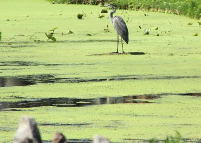 Heron fishing in Lyndonville