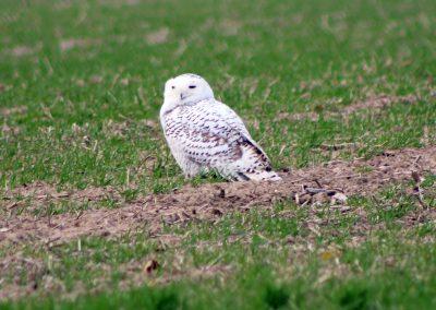 Endangered Snowy Owl