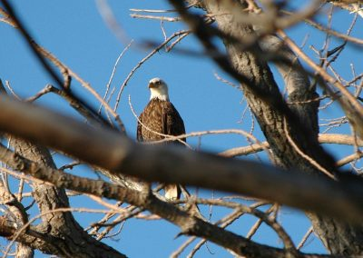 Adult Bald Eagle - Town of Yates - photo by Dan Salmons