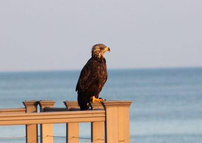 Juvenile Bald Eagle - Town of Yates - photo by Paul Salmons
